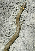 Grass snake in stone        — Stock Photo