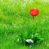 Red  tulips on a green lawn — Stock Photo