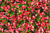 Blossoming flowerbeds background    — Stock Photo