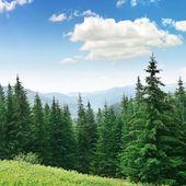 Beautiful pine trees — Stockfoto