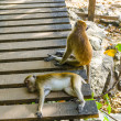 Macaque monkeys are and play — Foto Stock