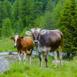 Cows graze in the Alpine meadow in summer — Stock Photo