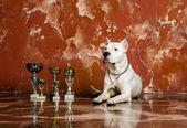White dog breed Dogo Argentino, alongside their awards — Stock Photo