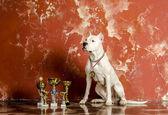 White dog breed Dogo Argentino, alongside their awards — Stok fotoğraf