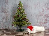 Argentine pedigree dog lying under the Christmas tree with toys — Stock Photo