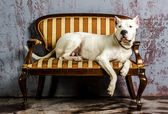 Argentine pedigree dog lying on old sofa — Stock Photo