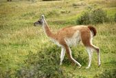 Guanaco in Chile — Stock Photo