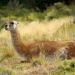 Guanaco in Chile — Stock Photo #17614079