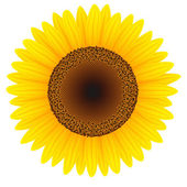 Sunflower — Wektor stockowy