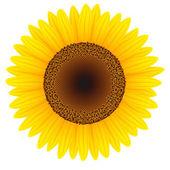 Slunečnice — Stock vektor