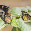 Beauty butterflies on leafs — Stock Photo