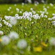 Dandelions in a field — Stockfoto