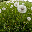 Dandelions in a field — Stock Photo