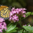 Monarch Butterfly feeding on flower — Stock Photo #14585025