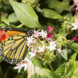 Monarch Butterfly feeding on flower — Foto de Stock