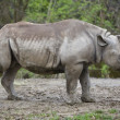 Stock Photo: Black rhinoceros isolated on white