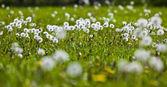 Dandelions in a field — Stock Photo