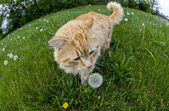 Cat smelling a dandelion in a field — Stock Photo