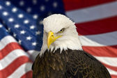 Bald eagle with american flag out of focus. — Foto de Stock