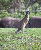 Mały kangur stojący w trawie — Zdjęcie stockowe