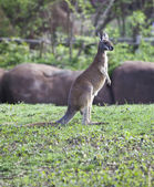 Pie pequeño canguro en la hierba — Foto de Stock