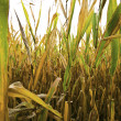 Cornfield — Stock Photo #14761833