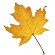 Maple leaf in fall isolated on white — Stock Photo