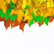 Multi color fall maple leaves isolated on white — Stock Photo