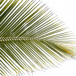 Green palm tree isolated on white background — Stock Photo