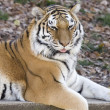 Tiger on a ledge — Stock Photo