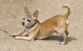 Dog on leash — Stock Photo