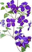 Clematis vines on white background — 图库照片