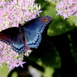 Admiral Butterfly - Vanessa atalanta Feeding — Stock Photo