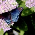Admiral Butterfly - Vanessa atalanta Feeding — Stock Photo