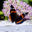 Admiral Butterfly - Vanessa atalanta Feeding - Photo