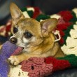 Cute chihuahua — Foto Stock