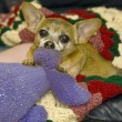 Cute chihuahua — Photo