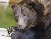 Brown (Grizzly) Bear — Foto de Stock