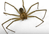 Brown recluse spider isolated on white — Stock Photo