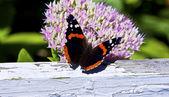 Admiral Butterfly - Vanessa atalanta Feeding — Photo