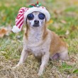 Stock Photo: Cute chihuahua