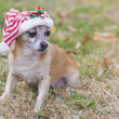 Cute chihuahua — Stockfoto