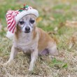 Cute chihuahua — Stock Photo