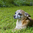 Older chihuahua in the grass — Stock Photo