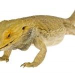 Lizard — Stock Photo #14931679