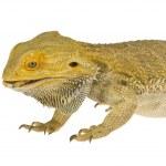 Lizard — Stock Photo #14931689