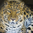 Стоковое фото: Leopard portrait isolated on black background.