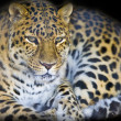 Leopard portrait isolated on a black background. - Stock Photo