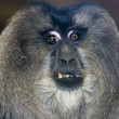 Monkey baboon - Stock Photo