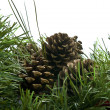 Pine cone on a branch with needles - Stock Photo
